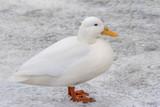 Peking duck side profile