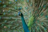 Beautiful peacock close up