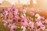 Fototapety Cosmos flowers blooming in the morning