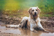 Golden retriever in puddle