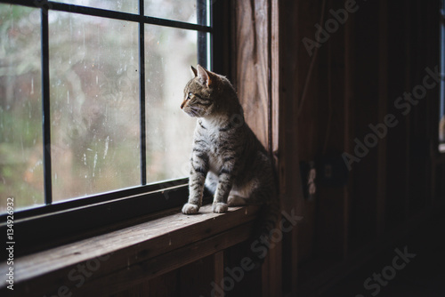 Poster kitty looking out window