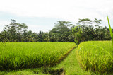 Rice fields of Ubud, Bali