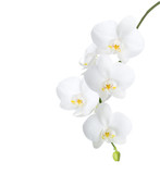 White orchid isolated on white background. - 134939777