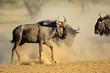 Blue wildebeest (Connochaetes taurinus) in dust, Kalahari desert, South Africa.