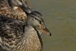 Mallard Duck. Wild bird floating on the lake. Portrait of the animal.