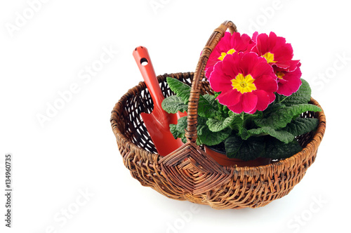 Papiers peints Azalea pink primula flower in basket on white isolated background