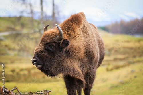 European Bison, bison bonasus Poster