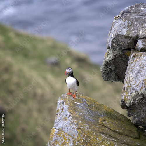 Poster Puffin (Fratercula arctica), RUNDE, Norway