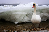 Swan on the frozen Danube river