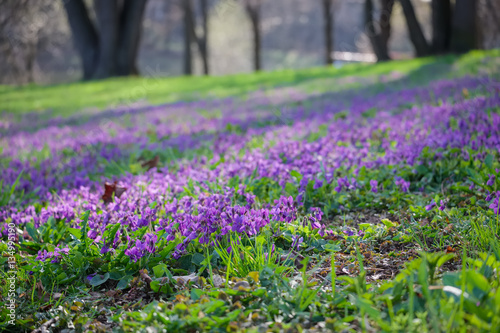 Blossoming violets in the spring meadow in the park