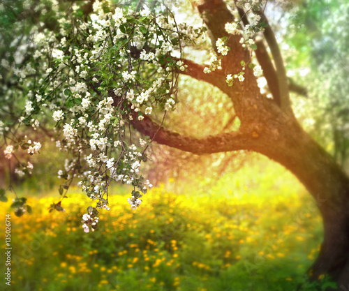 Zdjęcia na płótnie, fototapety na wymiar, obrazy na ścianę : flowering apple tree in spring outdoors against the backdrop of nature in the sun. Blooming garden in spring in the sunlight.