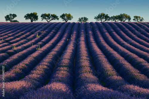 Poster Field of flowering lavender