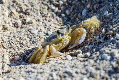 Poster crab on the sand