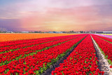 Blossoming tulip fields in a dutch landscape at sunset in the Ne