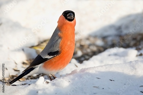 Poster Pyrrhula pyrrhula, bullfinch walking on snow