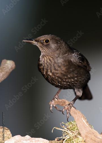 Poster Blackbird, Turdus merula