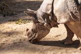 Indian rhinoceros, Rhinoceros unicornis