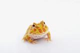 Argentine Horned Frog - 135137780