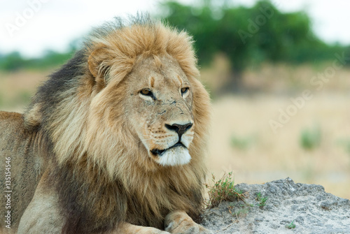 Poster male lion (Panthera leo), looking at the savanna, botswana
