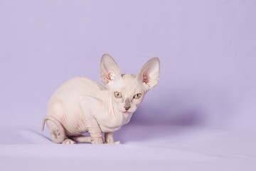 Sphinx cat on a lilac background