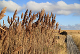 Phragmites encroaches a Boardwalk to the Beach on Cape Cod