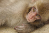Japanese macaque (Macaca fuscata) - Yudanaka seifu-so - Japan
