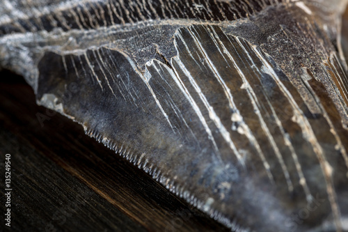 Poster Fossilized Megalodon Shark tooth on dark background