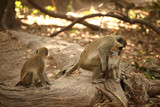 monkey family in Africa