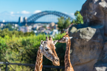 African giraffes with iconic Sydney Harbour bridge