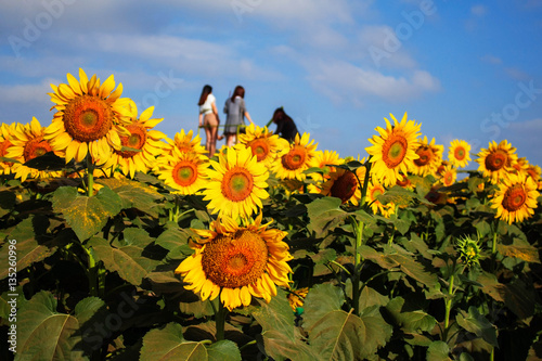 Sunflower and tourists are taking pictures.