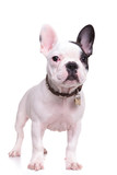 full body picture of a standing french bulldog puppy dog