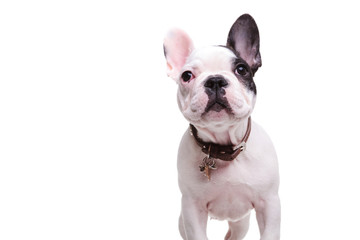 standing little french bulldog puppy dog is looking up