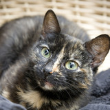 Tortoiseshell cat in a basket