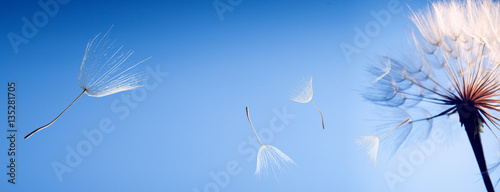 flying dandelion seeds on blue background