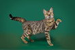 Funny Bengal cat playing on a green background