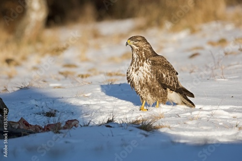 Poster Common buzzard, Buteo buteo - Accipitridae