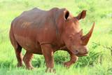 Nashorn Mutter Südafrika