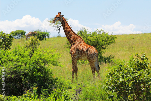 Poster Giraffe in südafrika