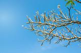 frangipani branch, plumeria branch with blue sky.