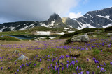 Field of spring time crocuses and Haramiya peak in the Rila Mountains, Bulgaria
