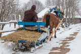 Belarus - February 14, 2016 After celebrating St Valentines Day in the Belarusian village the horse was carrying an old man on a wooden sledge home horse decorated with flowers