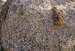 Barnacles on tidepool granite boulder