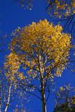 Autumn, golden aspens and crisp blue sky