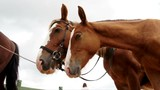 Harnessed horses staying outfdoors sniffing air