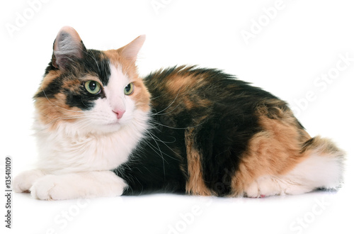 Poster tricolor cat in studio