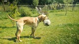 labrador dog playing with a ball in a sunny summer garden