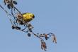 Eurasian siskin , Spinus spinus