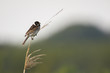 Singing bird in the reeds on a windy day