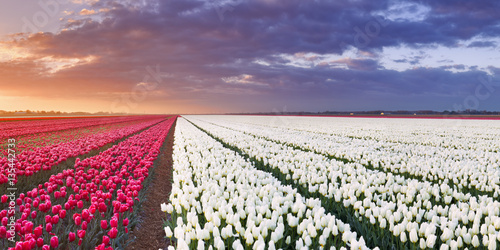 Poster Rows of colourful tulips at sunrise in The Netherlands