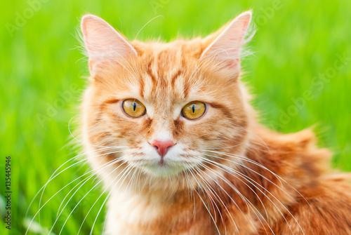 Poster Cat in the Green Grass in Summer - Beautiful Red Cat with Yellow Eyes - Playing